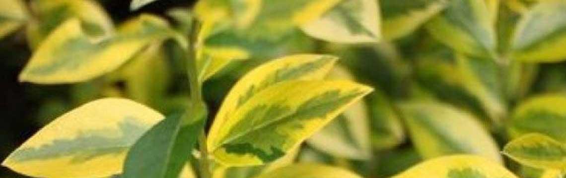Laubabwerfende Heckenpflanzen trockene Böden