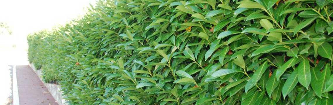 Laurierkers planten
