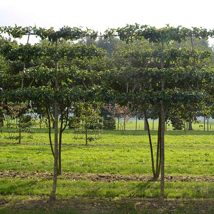 Leibomen plantensoorten online