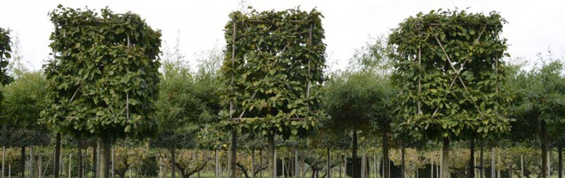 Leibomen vormen