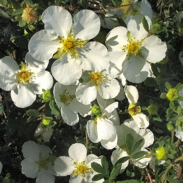 Makkelijke bloeiende haagplanten