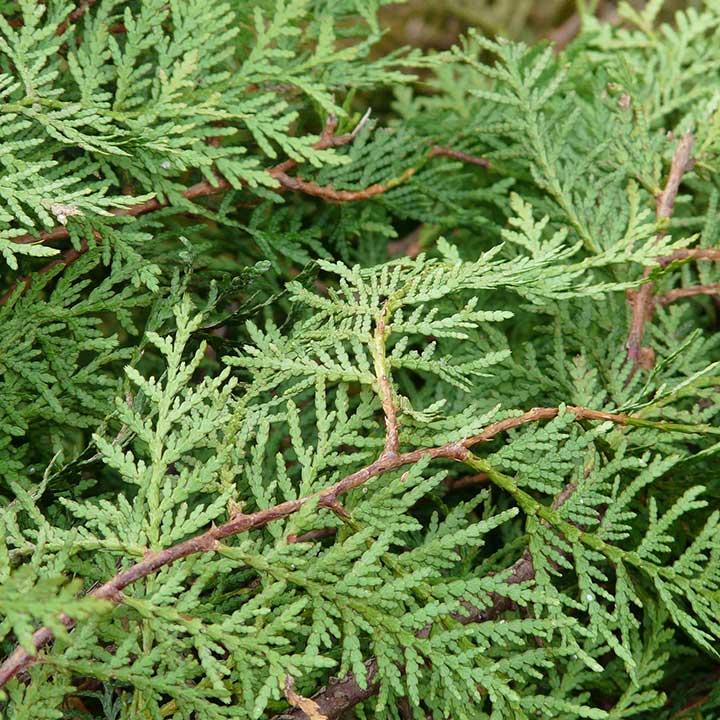 Heckenpflanzen trockene Böden
