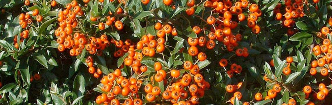 Onderhoudsarme haagplanten