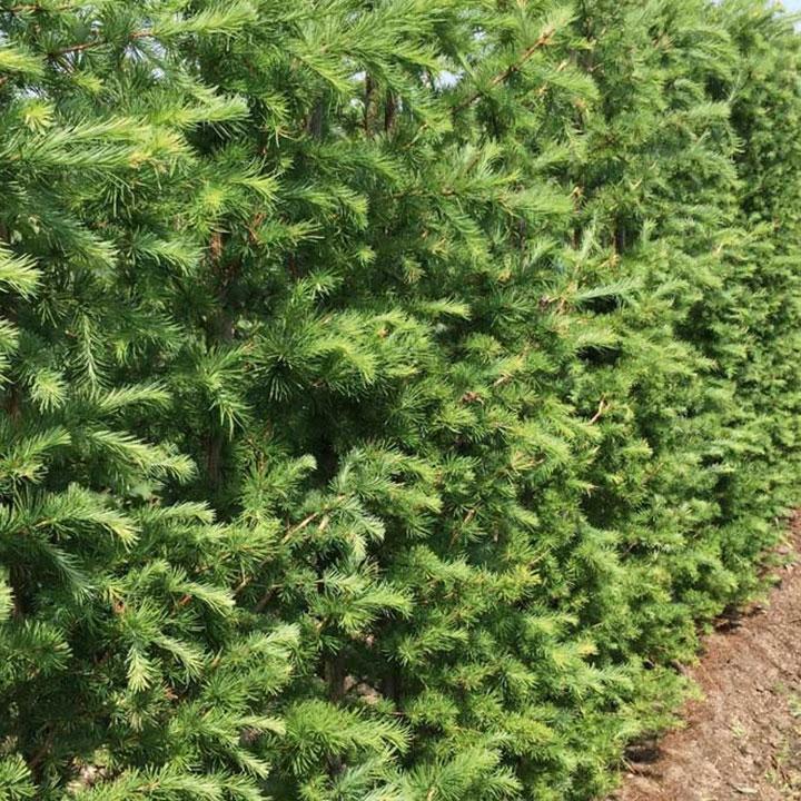 Soorten coniferenhagen