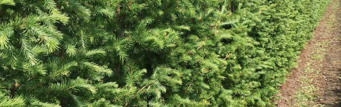 Coniferenhaag planten en snoeien