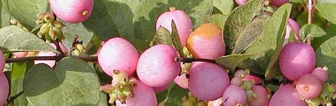 soorten lage haagplanten