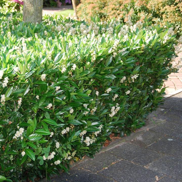 Soorten laurierhaag: in de tuin