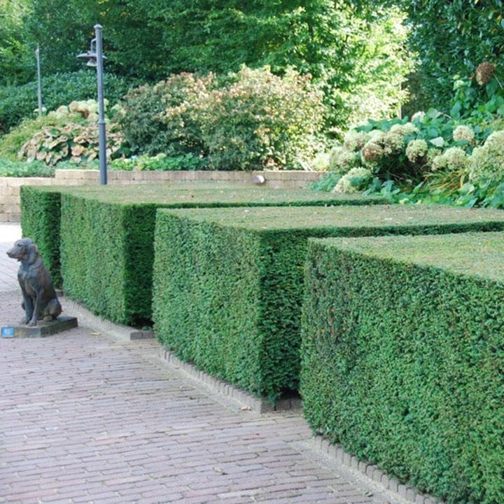Tuin voorbereiden voor taxushaag