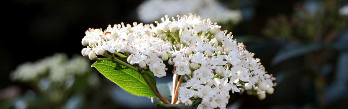 Viburnum haagplant