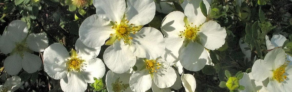 Winterharde haagplanten
