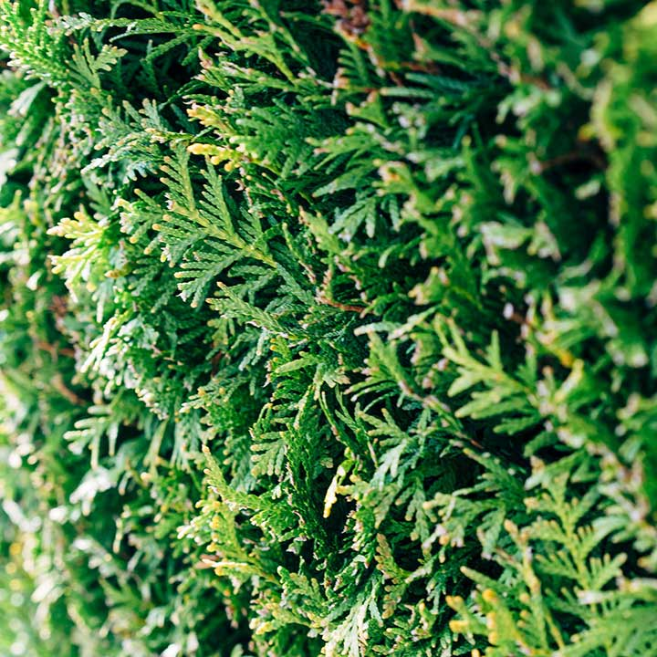 Haagplanten online kopen