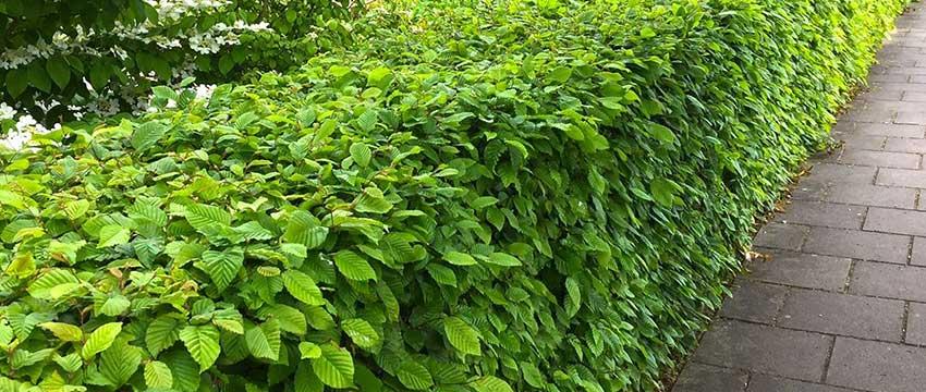 Haagplanten soorten