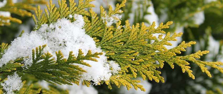Wintergroene struiken